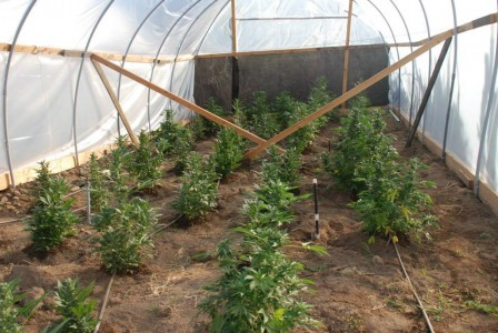 Sheriff's Deputies Seize Marijuana Plants In Fallbrook