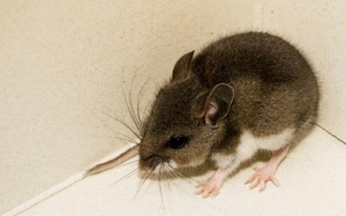 A deer mouse caught in Fallbrook test positive for Hantivirus.