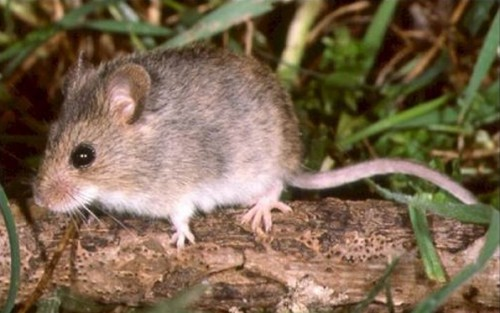 Two Mice Test Positive For Hantavirus
