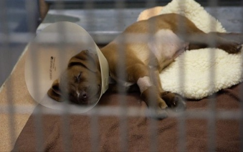 Stray puppy recovers at a veterinary hospital in San Diego.