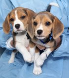 Three Remaining Beagles To Leave Shelter