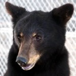 Alpine Bear Celebrates Independence Day Birthday
