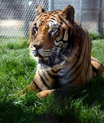 Lions Tigers And Bears Mourns Loss Of Tiger