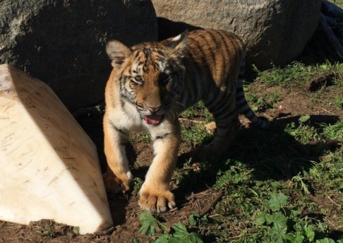Lions, Tigers And Bears Mourns Loss Of Young Tiger