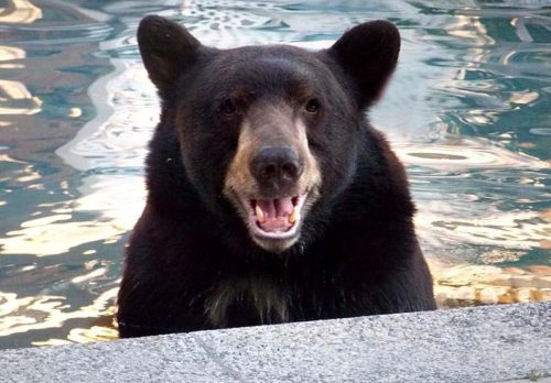Alpine Bear Celebrates 11th Birthday At Lions Tigers And Bears Sanctuary