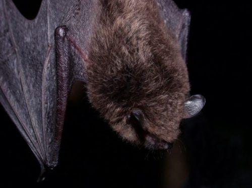 Rabid Bat Found At San Diego Zoo Safari Park