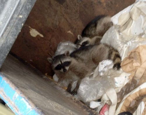 Two Raccoons Rescued From Grantville Recycling Plant Dumpster