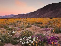 Thousands Of Visitors Flock To Anza-Borrego Desert State Park For 'Super Bloom'