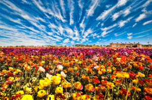 The Flower Fields Opens Today