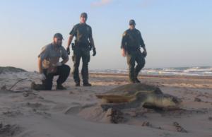 Rio Grande Valley Border Patrol Rescue Endangered Sea Turtles