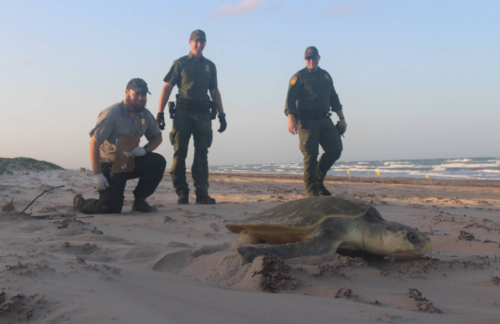 Rio Grande Valley Border Patrol Rescue Endangered Sea Turtles