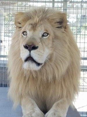 Lions, Tigers And Bears Receive Three White Lions