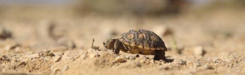 Twentynine Palms Marines Complete Desert Tortoise Translocation