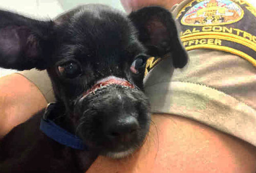 Rescued Abused Puppy Had Snout Bound
