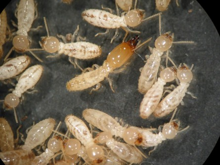 If Termites Eat Bait For One Day, They Die Within 90