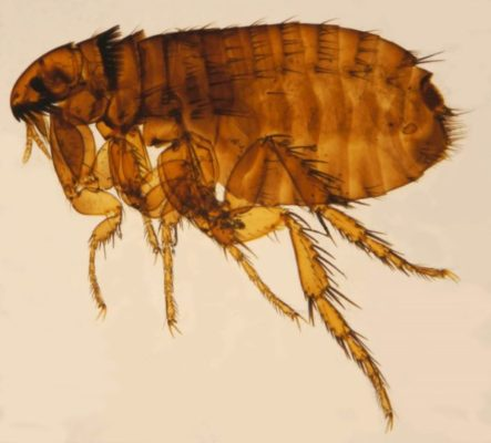 Typhus Case Prompts Flea Protection Warning